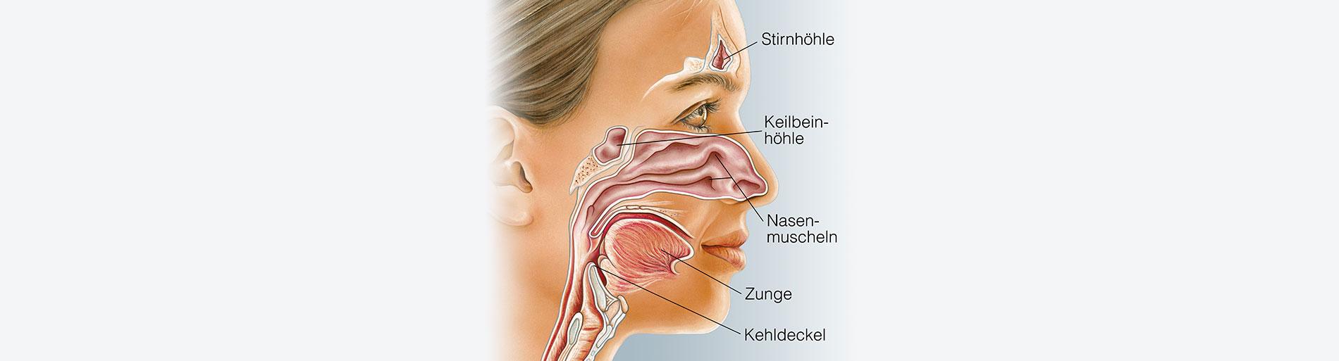 Wissenswertes Nasennebenhöhlen HNO Muenchen - Nasennebenhöhlen